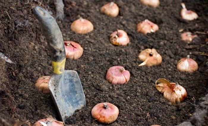 Когда выкапывать гладиолусы и как их хранить осенью