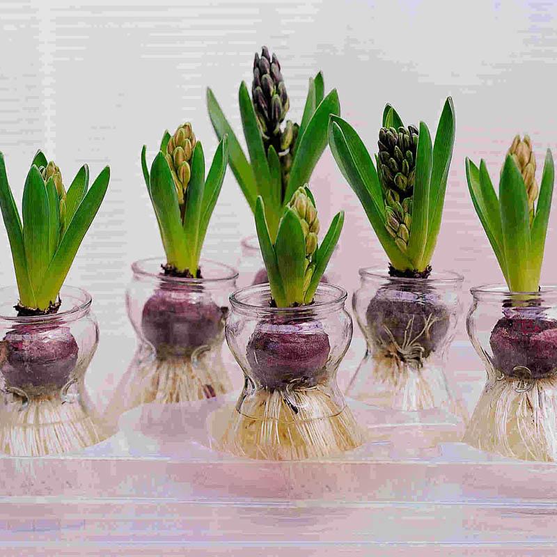 Выгонка гиацинтов. Что такое выгонка растений.