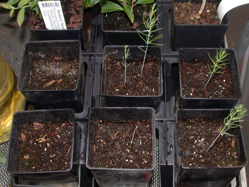 Выращивание из семян аспарагуса 4