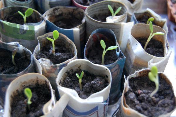 Семена люпинов на рассаду