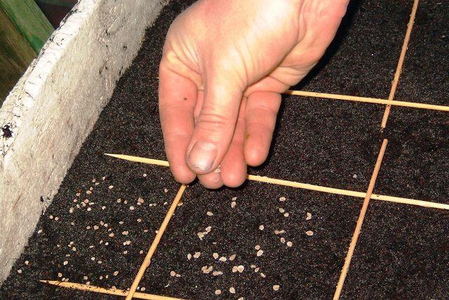 Подготовка семян помидор для рассады в домашних условиях 25