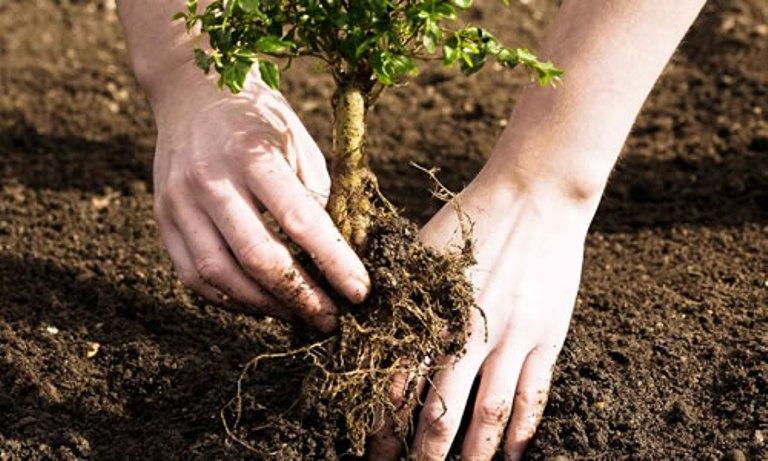 Сажать дерево в землю 52