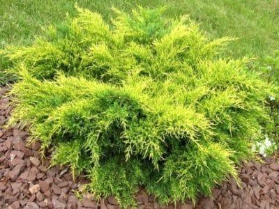 Почвопокровное растение с декоративными камнями.