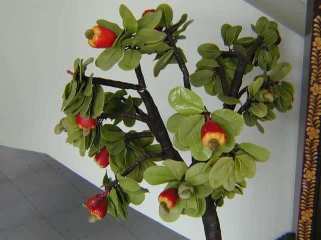 Комнатное растение кешью