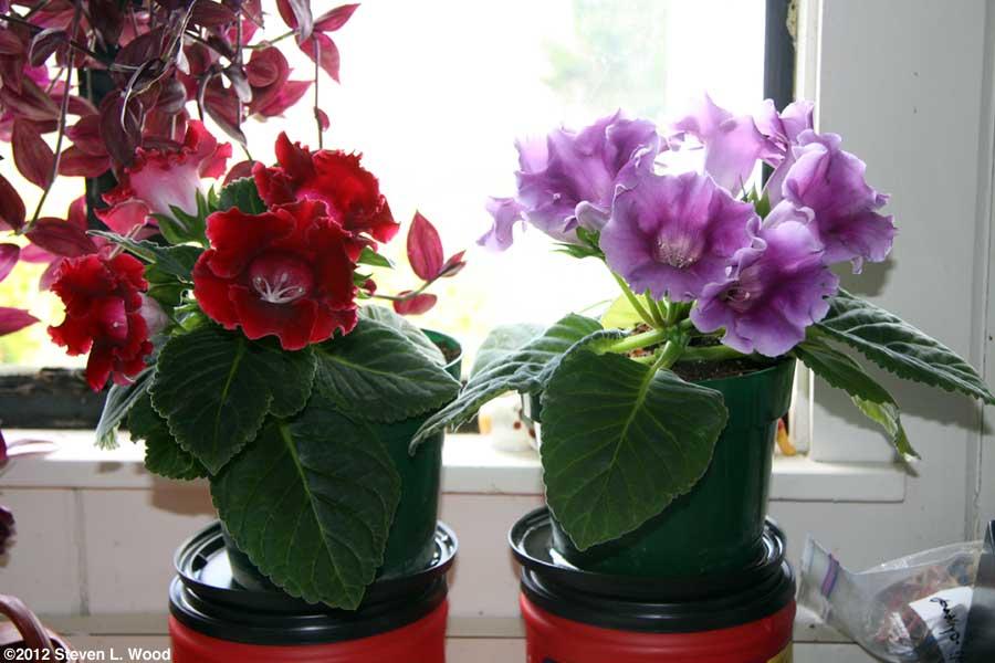 Посадка глоксинии Посадка (пересадка) клубня глоксинии Домашние комнатные растения