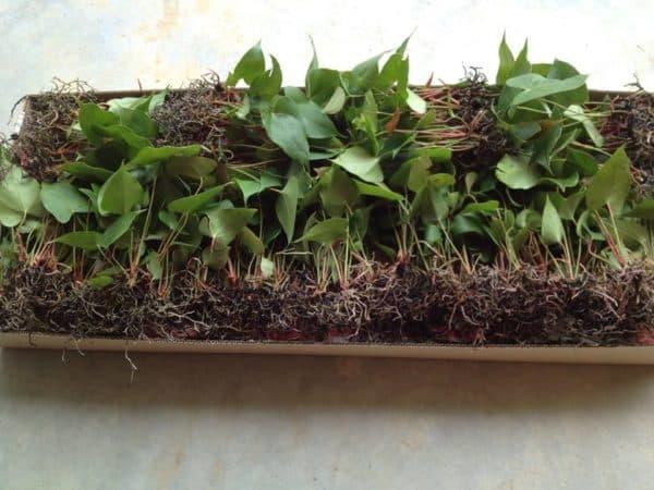 Выращивание методом черенкования.