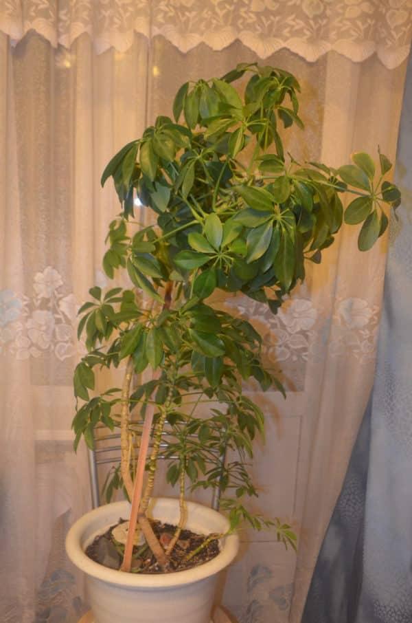 Экзотическое растение в цветочном горшке.