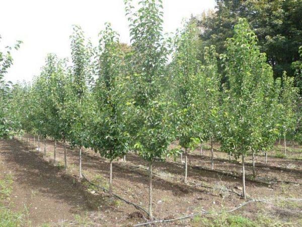 Можно выбрать дерево в специализированных садовых центрах.