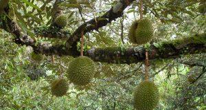 Взрослый представитель фрукта дуриана.