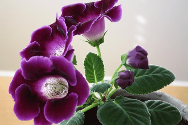 Растение цветет при правильной зимовке