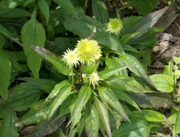 Заболевшие растение цветут не обильно, цветы мелкие