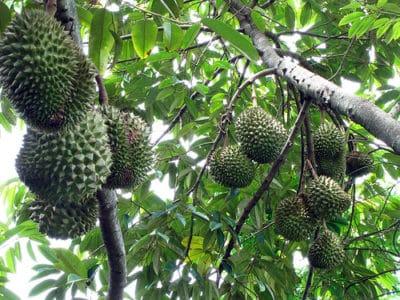 Подвид экзотического дерева с плодами.