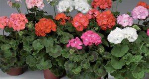 Цветущие пеларгонии