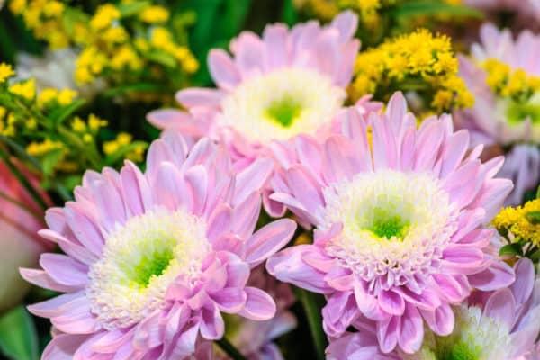 Красивые крупные цветы нежного бледно-фиолетового оттенка