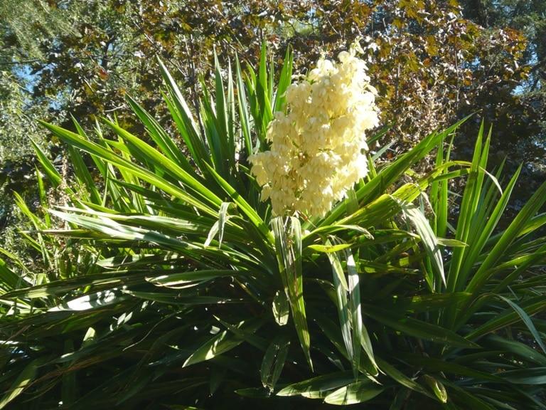 Белые крупные цветы на растении