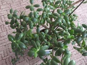 Цветок крассула (денежное дерево)