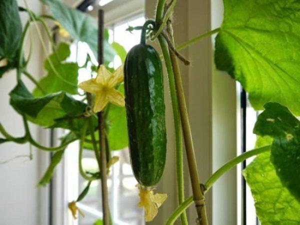 Как ухаживать за овощем в закрытом помещении.