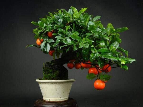 Кадочное растение, созданное с помощью техники бонсай.