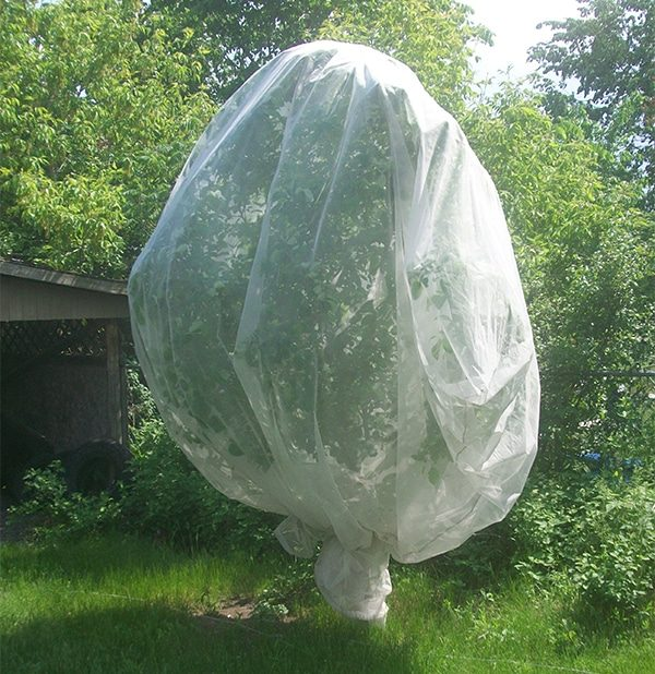 Молодой груше необходимо обеспечить защиту в первые годы.