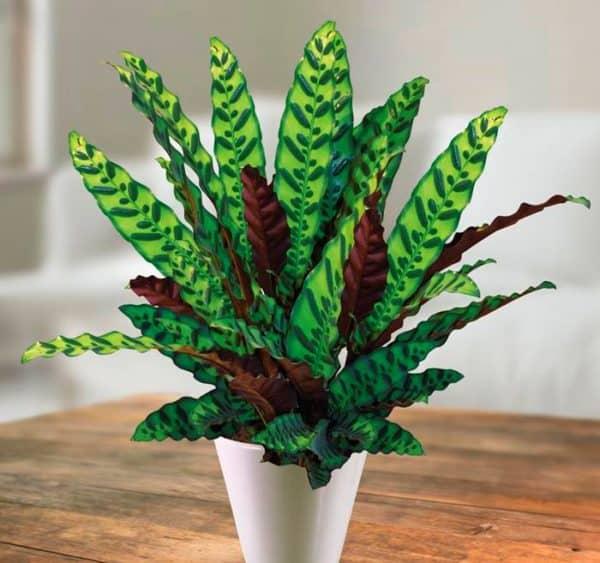 Комнатное растение с волнообразными листьями.