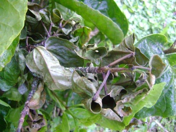 Растение требует лечения инсектицидами.