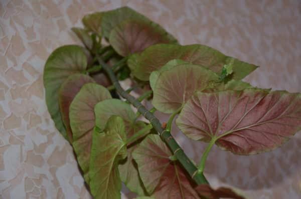 Подвид растения с большой листвой.