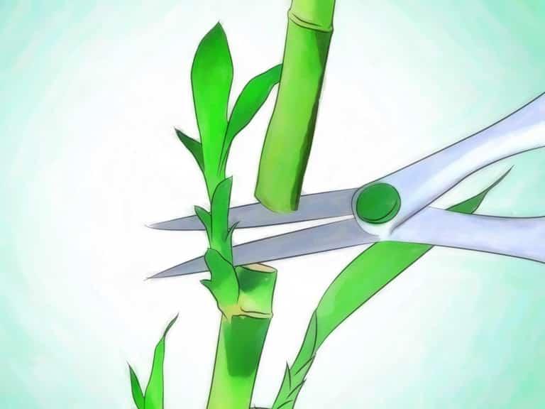 Чтобы разделить ствол, нужно отрезать часть садовыми ножницами.
