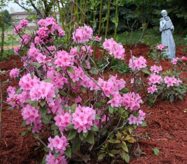 Азалия цветет в открытом грунте