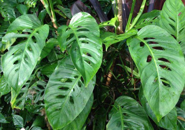 Огромные листья раскидываются в разные стороны.