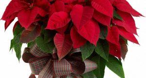 Растение в горшке - замечательный подарок на Рождество.