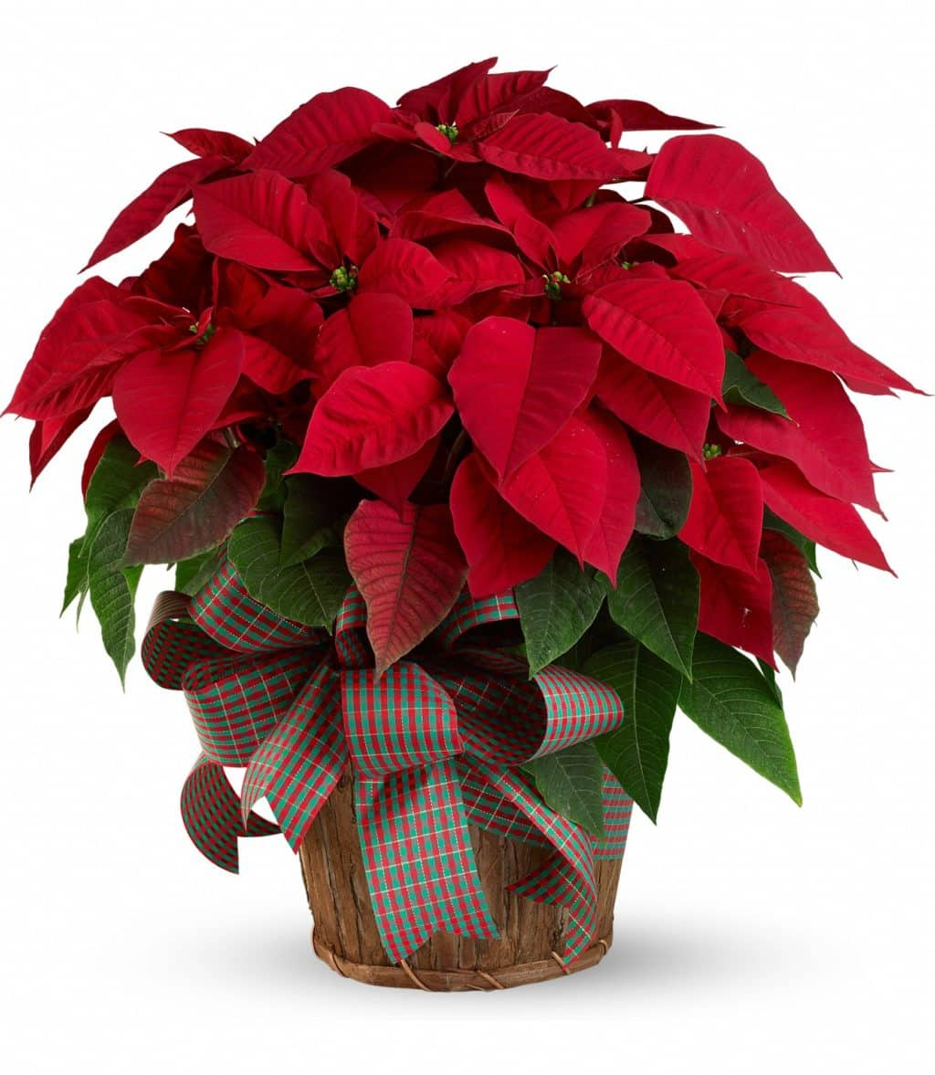 Комнатный цветок зеленый а верх красный