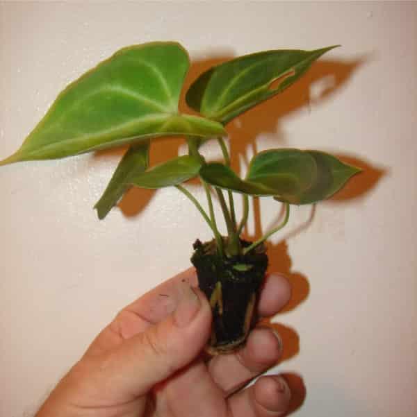 Молодой представитель растения.
