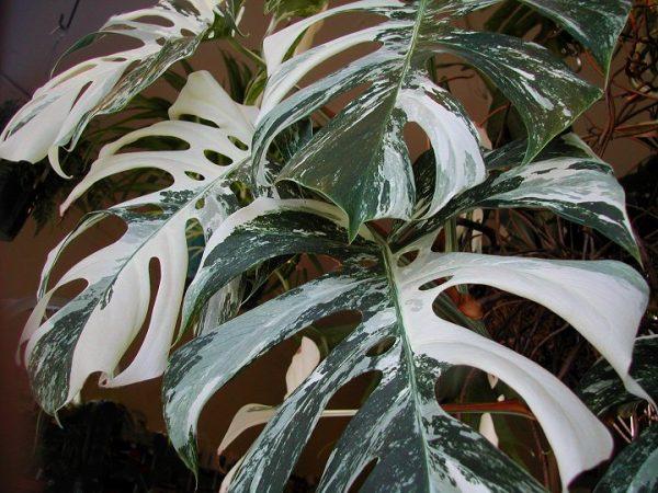 Кружевные листья растения очень привлекательны.
