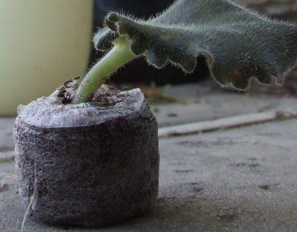 Использование торфяной таблетки для укоренения черенка фиалки