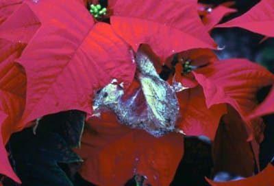 Растение подвержено болезням и вредителям.