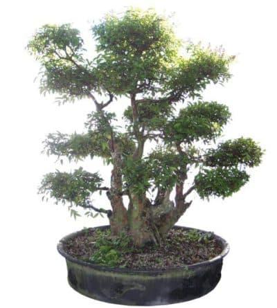 Использование восточной техники для выращивания миртового дерева.