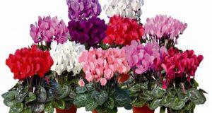 Популярный комнатный цветок семейства Мирсиновые.