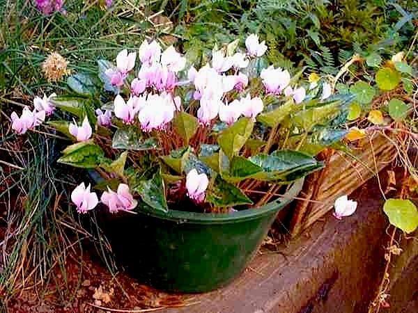 Растение в цветочном горшке.
