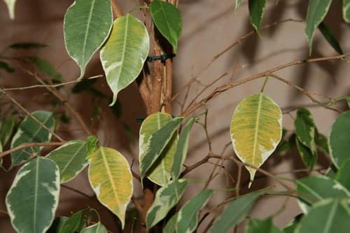У фикуса желтеют листья