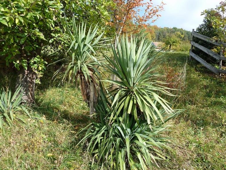 Зимой растение нужно хорошо укрывать.
