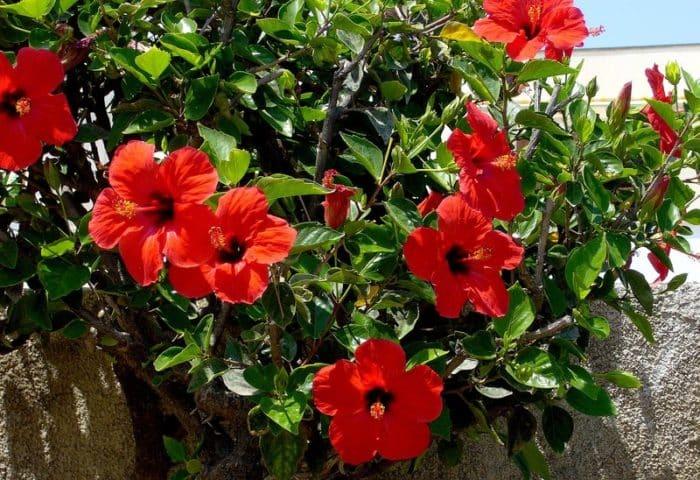 Когда можно пересаживать гибискус садовый