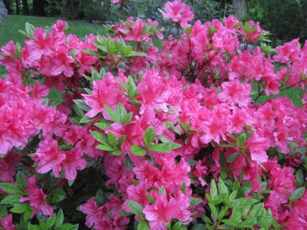 Азалия цветет в саду