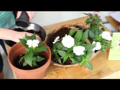 Смена цветочного горшка для бальзамина.