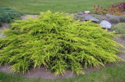 Хвойное растение на альпийской горке.