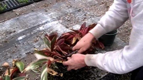 Выращивание с помощью отделенных корешков.