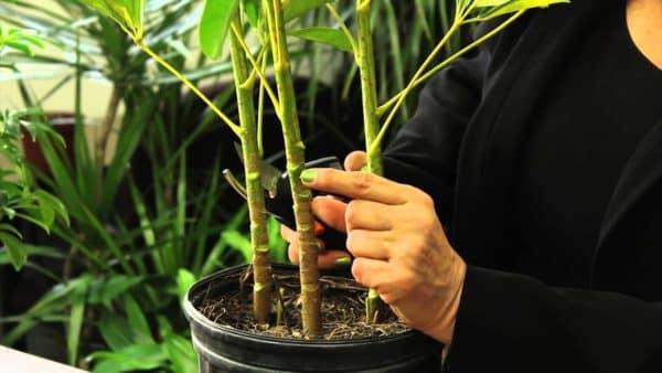 Вырезание части стебля для образования корней.