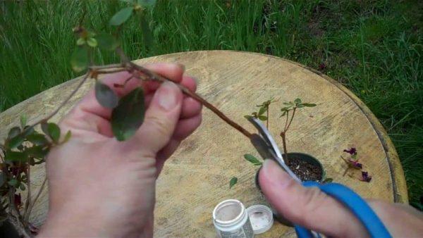 Азалию размножают черенкованием