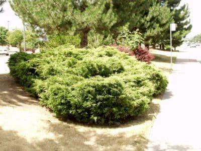 Растение может сохранять декоративность независимо от места посадки.