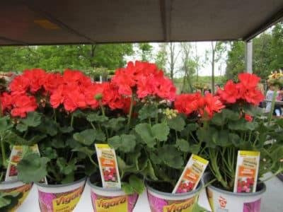 Продажа выращенных сортовых растений.
