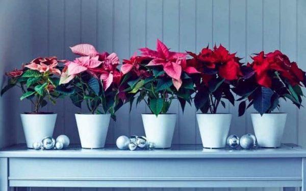 Цветок в горшке - настоящее новогоднее украшение дома.